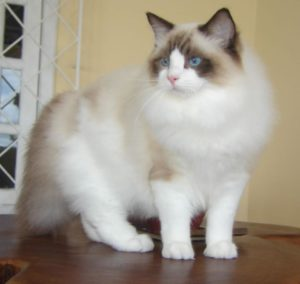 ragdoll_from_gatil_ragbelas